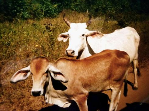 The cattle Tayo chases are made to live in the mountains and the desert. They are wild and lead Tayo all across the land that used to belong to his people.