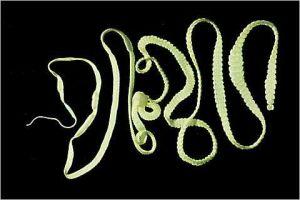 Tape worm